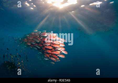 Shoal of Slender pinjalo snappers, White-spot pinjalo snapper or Red pinjalo [Pinjalo lewisi] with sun rays.  West Papua, Indonesia. - Stock Photo