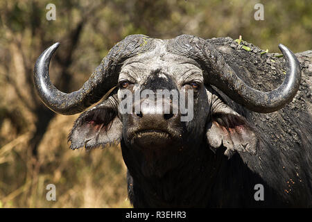 The portrait of a crusty old Cape Buffalo bull, often called a 'Dagga' (mud) Boy - Stock Photo