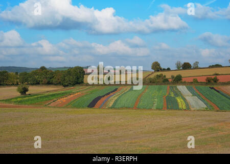 Variety of vegetables, including pumpkins, growing in a Devon field,UK - John Gollop - Stock Photo