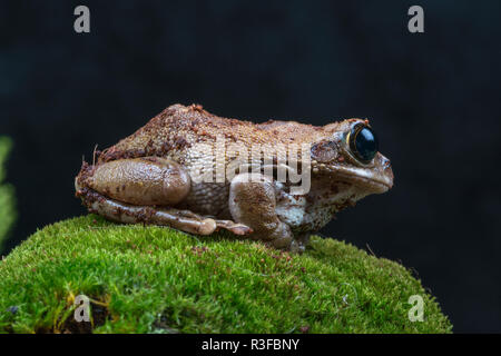 The peacock tree frog is indigenous to the rain forests of Tanzania. - Stock Photo