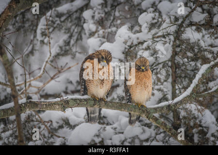 Two red tailed hawks perched together on a snow covered branch in a forest and watching prey - Stock Photo