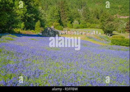 Traditional churchyard in Glencoe, Scotland on quiet spring morning with vivid field of bluebells growing in sunshine - Stock Photo