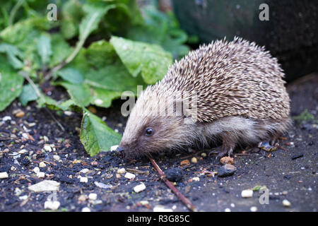 Erinaceus europaeus. Hedgehog foraging in the garden. - Stock Photo