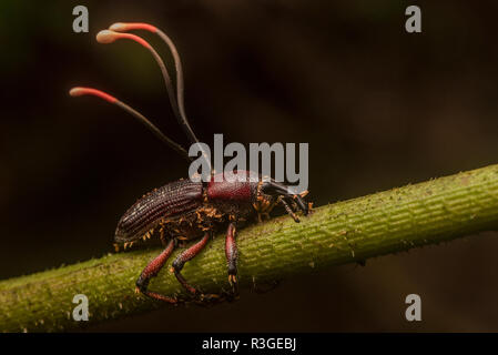 Ophiocordyceps curculionidae, a species of cordyceps fungus that specializes in attacking weevils. From Manu National Park, Peru. - Stock Photo