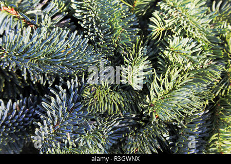 branches of nordmann fir as a christmas decoration - Stock Photo