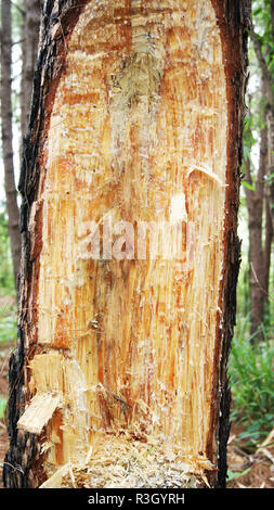 cut bark pine tree for on bark of a tree trunk / extraction of natural resin from pine tree trunks - Stock Photo