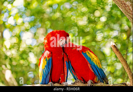 ara macaw parrot. Cute pair of parrots or birds, scarlet macaws or ara with red, yellow and blue feathers, plumage, sit on tree branch with green leav - Stock Photo