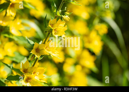 Yellow flowers of a perennial plant - Lysimachia vulgaris, close up. - Stock Photo