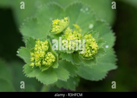 Closeup of Mantle flowers (Alchemilla mollis) in water drops after rain. Lady's-mantle - perennial garden ornamental plant. Selective focus. - Stock Photo