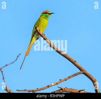 A typical view of Bee-eater sitting on a branch of tree - Stock Photo