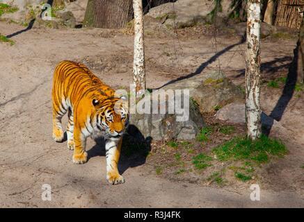siberian tiger,panthera tigris altaica