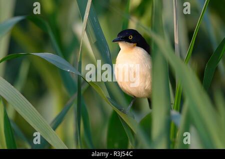Black-capped Donacobius (Donacobius atricapilla) on reed, Pantanal, Mato Grosso State, Brazil - Stock Photo