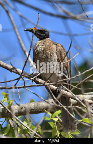 An Australian, Queensland Noisy Friarbird ( Philemon corniculatus ) resting perched on a tree branch - Stock Photo