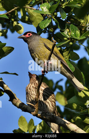 An Australian, Queensland Male and Female Figbird ( Sphecotheres viridis ) perched on a tree branch - Stock Photo