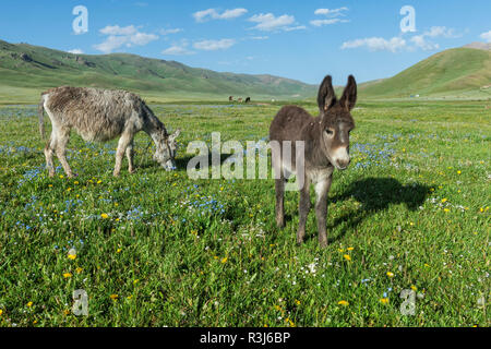Donkeys, Song Kol Lake, Naryn province, Kyrgyzstan, Central Asia - Stock Photo