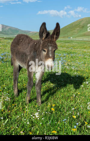 Donkey, Song Kol Lake, Naryn province, Kyrgyzstan, Central Asia - Stock Photo