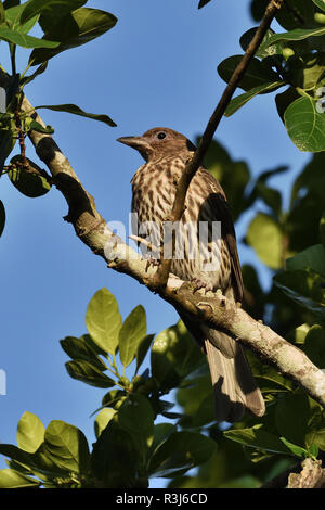 An Australian, Queensland Female Figbird ( Sphecotheres viridis ) resting perched on a tree branch - Stock Photo
