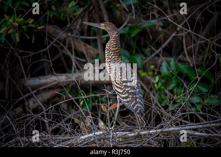 Rufescent tiger heron (Tigrisoma lineatum), young bird, Pantanal, Mato Grosso do Sul, Brazil - Stock Photo