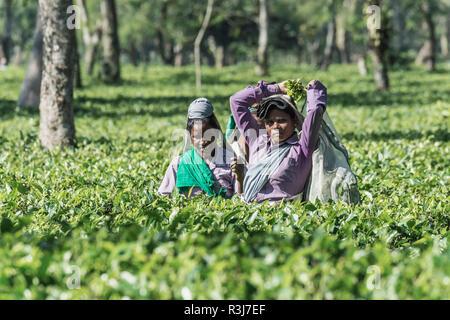 Indian women picking tea leaves, Assam, India - Stock Photo