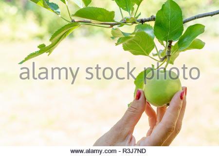 Frischer reifer Apfel im Garten bei Sonnenschein wird gerade gepflückt - Stock Photo