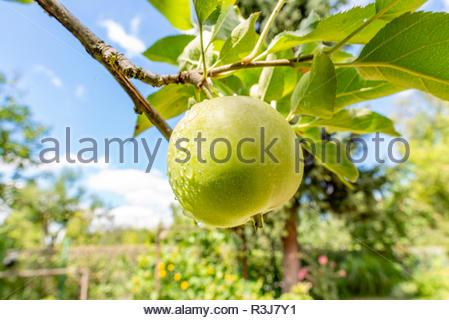 Frischer grüner reifer Apfel bei Sonnenschein mit Wassertropfen - Stock Photo