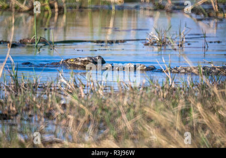 Crocodile in water, Botswana, Africa - Stock Photo