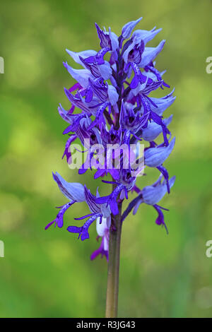 close military orchid orchis militaris - Stock Photo