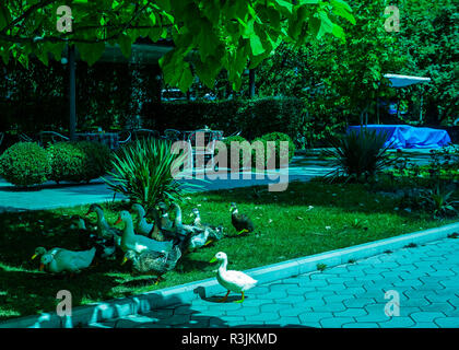 Ducks and Gosses Group in Park Gathering at Shades on Grass - Stock Photo