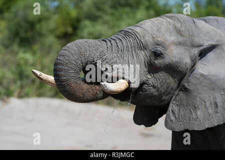 African elephant (Loxodonta Africana), Savuti marsh, Chobe National Park, Botswana. - Stock Photo