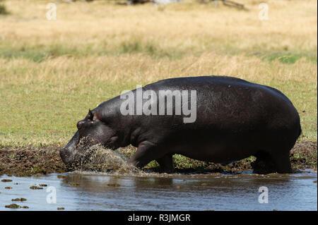 Hippopotamus (Hippopotamus amphibius), Khwai concession, Okavango Delta, Botswana. - Stock Photo