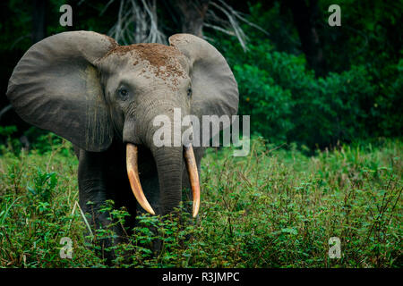 African forest elephant (Loxodonta cyclotis). Odzala-Kokoua National Park. Cuvette-Ouest Region. Republic of the Congo - Stock Photo
