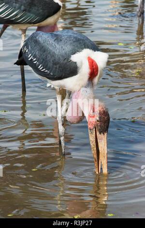 Marabou Storks (Leptoptilos crumenifer) at Ziway Lake, Great Rift Valley, Ethiopia - Stock Photo
