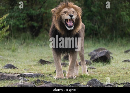 Africa, Kenya, Maasai Mara National Reserve. Snarling male lion. Credit as: Bill Young / Jaynes Gallery / DanitaDelimont.com - Stock Photo