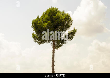 Mediterranean isolated pine contrasted with the sky - Stock Photo