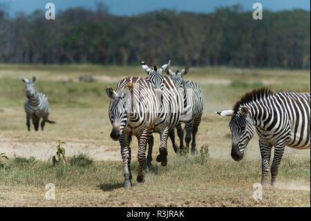 Plains zebra (Equus quagga), Lake Nakuru National Park, Kenya. - Stock Photo