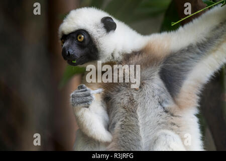 Madagascar, Nosy Be (Big Island) off the northwest coast of mainland Madagascar. Von der Decken's sifaka, white-head sifaka (Propithecus deckenii) - Stock Photo