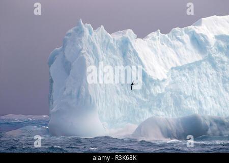 Albatross cruising at Iceberg. South Georgia Islands. - Stock Photo