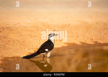 Jacobin cuckoo, Clamator jacobinus, Jhalana, Rajasthan, India. - Stock Photo