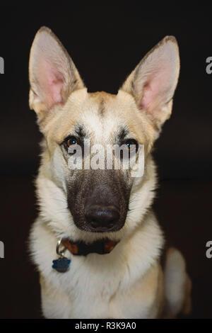 Studio Pet Portrait of a Beautiful Young German Shepherd Dog in Studio against a Black Backdrop. - Stock Photo