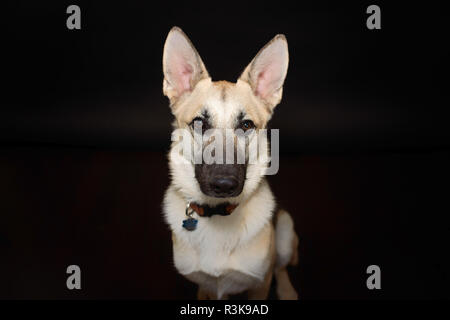 Studio Pet Portrait of a Beautiful Young German Shepherd Dog in Studio against a Black Backdrop. - Stock Photo