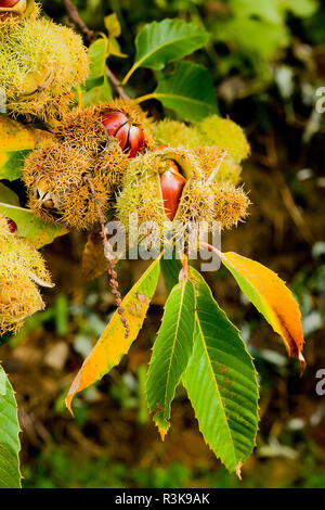 Ripe sweet chestnuts bursting open their seed cases while still attached to a growing chestnust tree in an English garden - Stock Photo