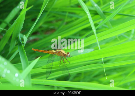 Closed up a dragonfly resting on the vibrant green grass - Stock Photo