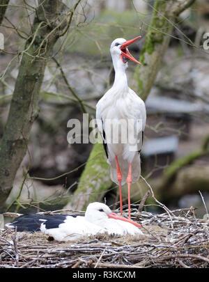storchenpaar in nest - Stock Photo