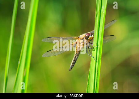 Close-up of a four-spotted chaser (Libellula quadrimaculata) or four-spotted skimmer dragonfly resting in sunlight on green reeds. - Stock Photo
