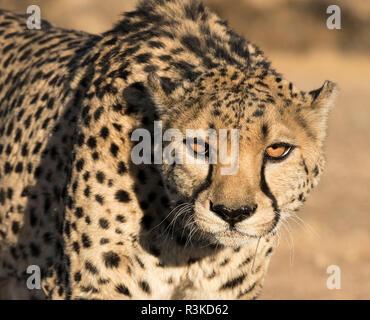 Africa, Namibia, Keetmanshoop. Portrait of cheetah. Credit as: Wendy Kaveney / Jaynes Gallery / DanitaDelimont.com - Stock Photo