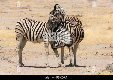 Namibia. A young zebra nudges it's pregnant mother in an act of affection. Etosha National Park. - Stock Photo