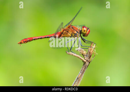 Close-up of a red colored male ruddy darter (Sympetrum sanguineum) hanging on vegetation. Resting in sunlight in a meadow. - Stock Photo