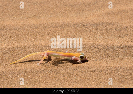 Colorful web-footed or Palmatogecko gecko, Pachydactylus rangei, digging to go underground, nocturnal and has large light-sensitive eyes. - Stock Photo