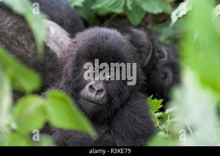 Africa, Rwanda, Volcanoes National Park. Young mountain gorilla portrait. - Stock Photo
