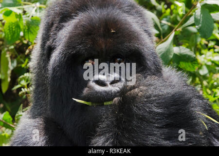 Silverback gorilla in the forest, Parc National des Volcans, Rwanda - Stock Photo